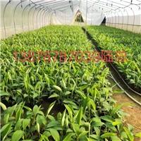 福建省香蕉苗西贡粉蕉苗批发出售