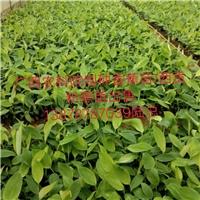 四川省重庆市香蕉苗西贡粉蕉苗小米蕉苗出售