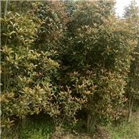 安徽六安  桂花树  私人种植诚心出售