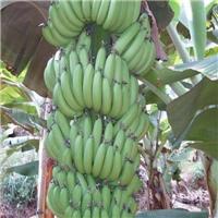 广西(农科院)生产巴西香蕉苗、粉西贡粉蕉苗