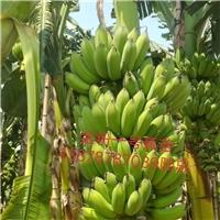 福建省香蕉苗、西贡粉蕉苗、小米香蕉苗出售