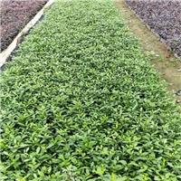 绿化苗木基地供应常绿灌木重瓣扶桑