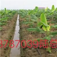 广西贵港香蕉苗西贡粉蕉苗广粉蕉苗出售