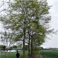 成都优质米径20-40朴树苗圃现货一手货源