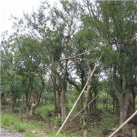 江苏盐城供应6-10公分朴树