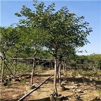 枝叶茂密绿荫如盖适作庭荫树黄花槐基地直销