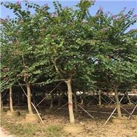 福建产地直销供应常绿落叶乔木红花紫荆