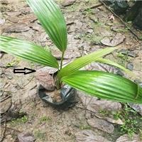 重要绿化树种四季常青蒲葵小苗规格齐全厂