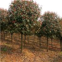 江苏盐城供应6-8公分红叶石楠树