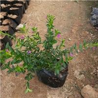 长丰县当年开花盆栽绿植满天星长期供应