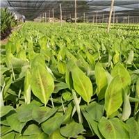 云南农科院香蕉苗粉蕉苗广粉苗批发出售