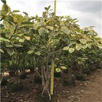 沐阳苗木基地面向全国批发丛生富贵榕