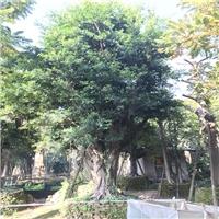 泰安苗木场大量出售成活效高小叶榕规格齐全