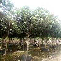 基地供应园林绿化黄槿价格实惠