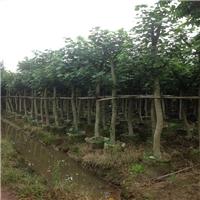 基地供应园林绿化黄槿价格实惠厂