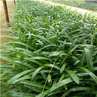 多规格工程植物苗蜘蛛兰批发价大量供应