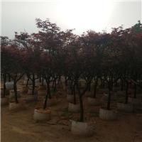 中山园林绿化景观苗木种植场供应红枫厂