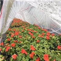 福建种植基地供应时花盆栽凤仙颜色多样厂