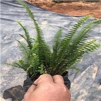 基地批发地被花草肾蕨、肾蕨价格多少厂