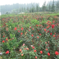 精选四季开花观花植物丰花月季质优价廉