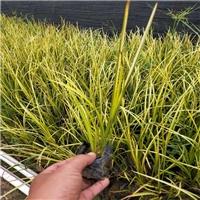 四季常青地被护坡小苗金叶石菖蒲大量供应