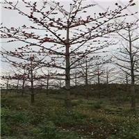 产地直销树形美观规格齐全木棉物美价廉