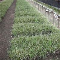 农户基地直销银边沿阶草、银边沿阶草价格