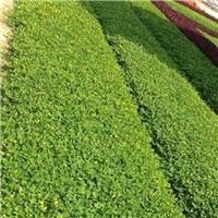 基地供应地被绿化小苗遍地黄金质优价廉