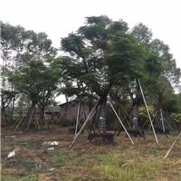 沐阳大量批发供应绿化凤凰木量大从优