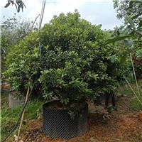 杨梅2~3.5米 漳州基地直销
