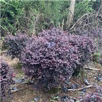 红花��木球60~1.5米 漳州基地直销