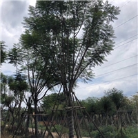 蓝花楹12~30公分 漳州基地直销
