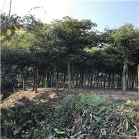 批发采购园林绿化地被小苗天竺桂物美价廉