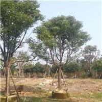 基地直销四季常青绿化香樟多规格大量供应厂
