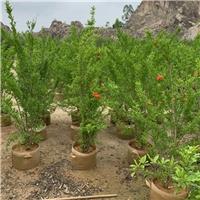 红花石榴 1.5~3米 漳州基地直销 喜庆吉祥花