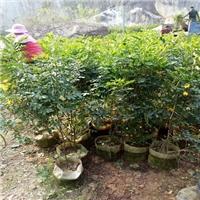 基地直供管理方便的优良园林植物黄花双夹槐