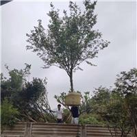 鸡爪槭3~8公分  漳州基地直销