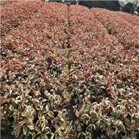 福建地区哪里有供应质优红背桂常用为盆栽