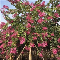 红花紫荆8~15公分园林景观 漳州基地直销