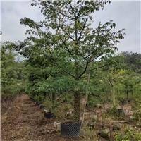 美人树15~35公分 漳州基地直销