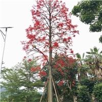 澳洲火焰木10~20公分漳州基地直销风景树