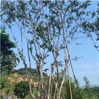 朴树15~35公分 四季常青漳州基地直销