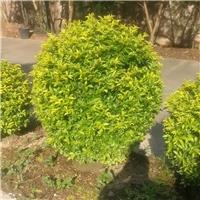 黄金叶60~1.5米园林绿化漳州基地直销
