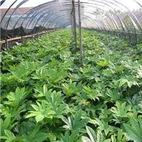 多规格大量供应八角金盘是优良的观叶植物