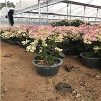 厂家直销多规格观花盆栽绿化三角梅量大从优