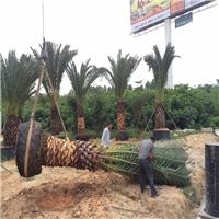 福建绿化风景树加拿利海枣大量批发价供应