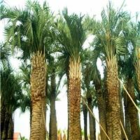 基地批发供应行道观景树布迪椰子规格齐全