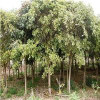 园林工程绿化苗木红皮榕长期大量供应