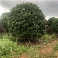 大量供应桂花树