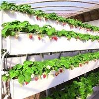 山东甜查理草莓立体种植架春旭草莓种植槽
